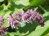 Salvia azurea0