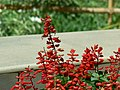 Salvia do Brasil (405622301).jpg