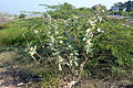 Salzpflanze Calotropis gigantea.JPG