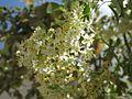 Sambucus mexicana - inflorescencia (7554213166).jpg