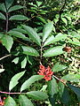 Sambucus racemosa 01.JPG