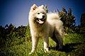 Samoyed2.jpg