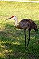 Sandhill Crane (5763302188).jpg
