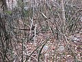 Sansevieria fischeri in the wild (5230577661).jpg