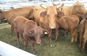 Santa Gertrudis cows and calves, The calf has ...