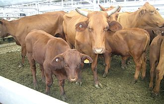King Ranch - Santa Gertrudis cows and calves