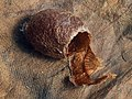Saturnia pavonia - Emperor moth (cocoon) - Малый ночной павлиний глаз (кокон) (41189581612).jpg
