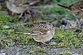 Savannah sparrow II navarro beach (14311546043).jpg