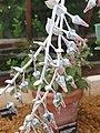 Saxifragales - Dudleya pulverulenta - 4.jpg