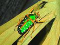 Scarabaeidae - Stephanorrhina guttata.JPG