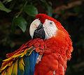 Scarlet-Macaw.jpg