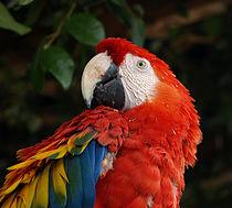 210px-Scarlet-Macaw.jpg