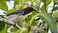 Scarlet-backed flowerpecker Gosaba Sundarban 0003.jpg