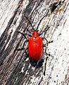 Scarlet Lily Beetle (Lilioceris lilii) - Flickr - Bennyboymothman.jpg