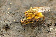Scathophaga.stercoraria.couple.jpg