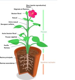 Schéma plante + fleur.png