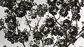 Schefflera morototoni (Aubl.) Maguire, Steyerm. & Frodin (8182011660).jpg