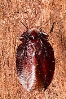 <i>Schizopilia fissicollis</i> species of insect