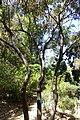 Schrebera swietenioides - Mildred E. Mathias Botanical Garden - University of California, Los Angeles - DSC02732.jpg