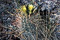 Sclerocactus parviflorus ssp terrae-canyonae fh 69 40 UT B.jpg