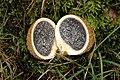 Scleroderma.citrinum2.-.lindsey.jpg