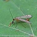 Scorpion fly (36100294386).jpg