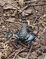 Scorpion from PArambikulam (2).jpg