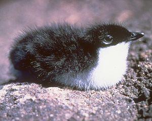 Santa Barbara Island - Scripps's murrelet chick, Santa Barbara Island