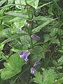 Scutellaria galericulata 12.jpg