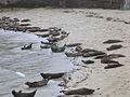 Seals at the beach of San Diego.jpg