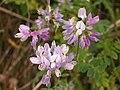 Securigera varia, lavender form, 2020-06-22, Mount Lebanon, 01.jpg