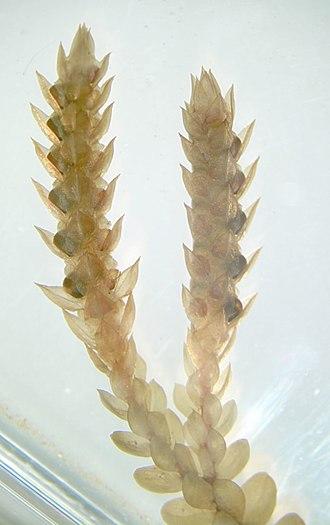 Strobilus - Image: Selaginella strobilus wm