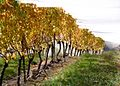 Semillon vines at Gisborne Peak, NZ.jpg