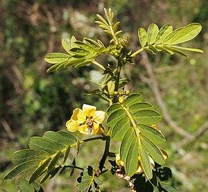 Senna gaudichaudii - Image: Senna gaudichaudii flowers and foliage