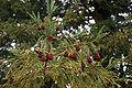Sequoia sempervirens foliage cones Mount Tamalpais 1.jpg