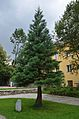 Sequoiadendron giganteum, Dietrichpark, Mürzzuschlag.jpg