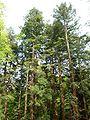 Sequoiafarm Sequoia sempervirens.jpg