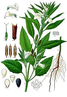 Sesamum indicum - Köhler–s Medizinal-Pflanzen-129.jpg