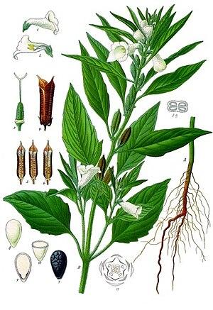 Sesame - Image: Sesamum indicum Köhler–s Medizinal Pflanzen 129