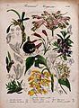 Seven plants, including three orchids and a gesneria; flower Wellcome V0044703.jpg