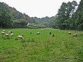 Sheep grazing damp pasture Mineshop Cornwall - geograph.org.uk - 102619.jpg