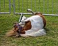 Shetland pony at Boreham, Essex, England 2.jpg