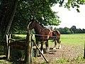 Shire horses at Sandy Meadow Farm - geograph.org.uk - 1374594.jpg
