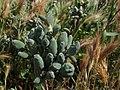 Silene vulgaris - Capitulos florales deformados (14242165290).jpg