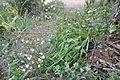 Simethis planifolia 5.JPG