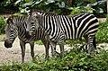 Singapore Zoo Zebra-1 (6587518141).jpg