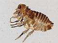 Siphonaptera (YPM IZ 093896).jpeg