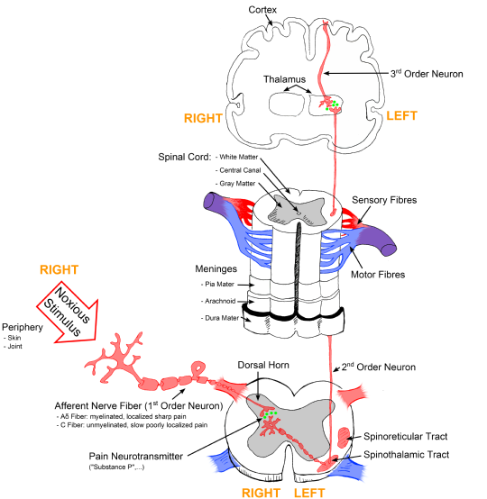 Sensory Systems/Physiology of Pain - Wikibooks, open books for an ...