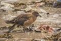 Skua frisst Eiderente auf Spiekeroog - Nationalpark niedersächsisches Wattenmeer (2).jpg
