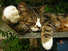 Sleeping bicolor cat.jpg